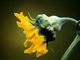 向日葵会一直跟着太阳转来转去吗