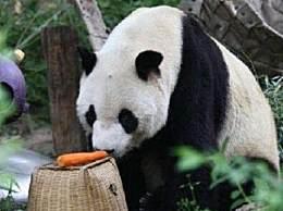 28岁大熊猫大地去世
