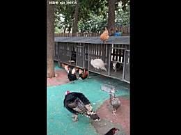 临汾动物园用家禽凑数