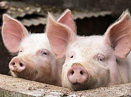 """猪价跌回""""原形"""" 生猪价格今日猪价最新走势价格"""