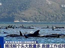 470头巨头鲸搁浅