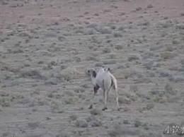 甘肃发现首例白化野骆驼