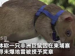 非洲巨鼠因搜寻地雷被授奖章