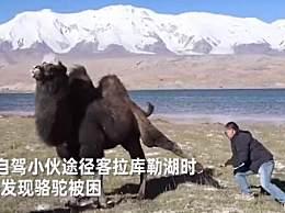 骆驼铁丝缠脚被解救长鸣感谢