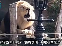动物园狮子与游客对吼