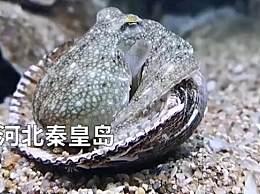 章鱼拆贝壳当房门求安全感