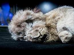 冻土层中发现的美洲拟狮的宝宝 完整地保存着44000年前的模样