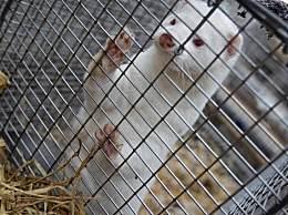丹麦41个水貂养殖场检测出新冠病毒