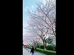 武汉大学樱花桂花同开