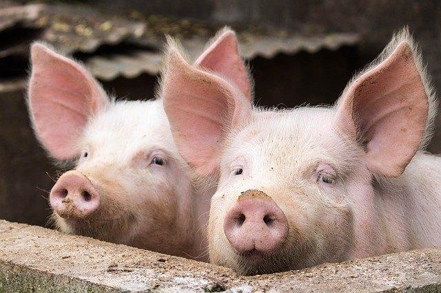 """25省下跌!猪价""""一片绿"""" 今日最新生猪价格行情走势一览表"""