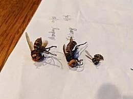 美国再现杀人大黄蜂入侵事件