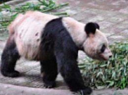 25岁大熊猫灵灵去世