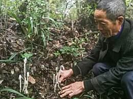 贵州现死亡之花水晶兰
