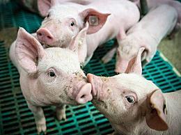 猪价跌破30元每公斤