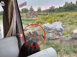 野生动物园熊伤人现场疑曝光