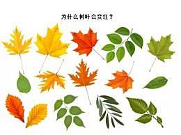 秋季树叶为什么会变红