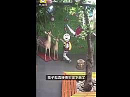 小学生拔标本鹿角给爷爷补身体