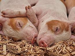猪肉价格将回落到正常水平
