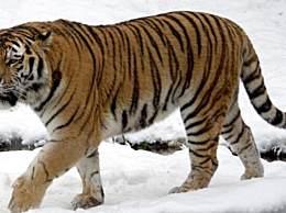 东北虎吃熊证据