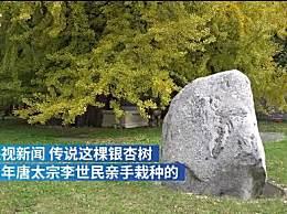 西安千年银杏进入观赏期
