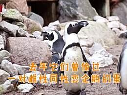 同性恋公企鹅时隔一年再偷蛋