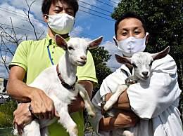 日本推出租羊吃草业务