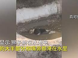 动物园回应狮子泡水池中疑似死亡