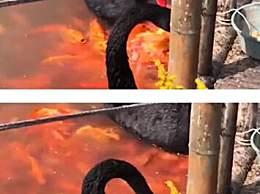 黑天鹅衔食喂锦鲤背后原因