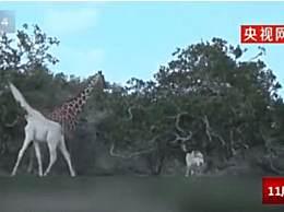 白色长颈鹿被定位