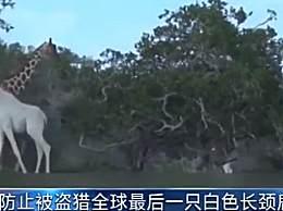 全球最后一只白色长颈鹿