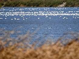 候鸟吃光鱼塘十万斤鱼