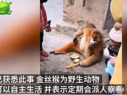 金丝猴在陕西村民家中住一月