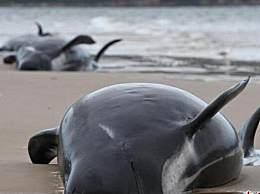 新西兰约100头领航鲸和海豚搁浅死亡