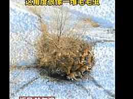 东北虎也扛不住哈尔滨的冷