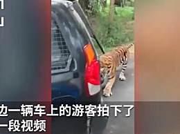 老虎咬住车尾将整车人拖动数米
