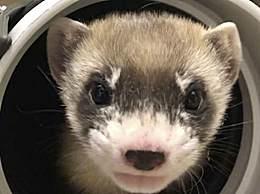 美国首次成功克隆濒危动物