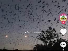 澳大利亚一地遭8万狐蝠入侵
