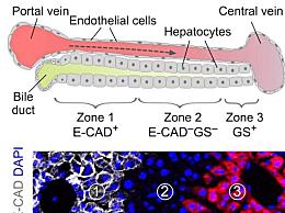 成体肝脏中新生肝细胞来源被发现