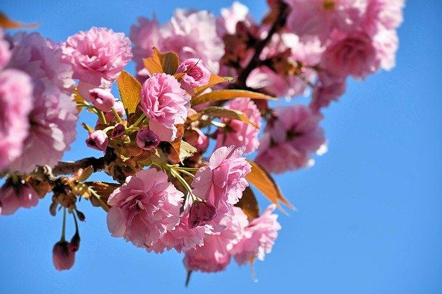 2021年武大樱花开放时间 武大樱花花期有多长