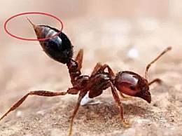 红火蚁最危险入侵物种 不仅危害大而且防控难度很高