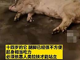 博物馆考虑对猪坚强实施安乐死