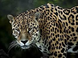 专家判断第3只豹子或已死亡