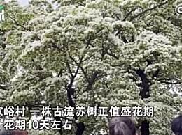 北京580岁古流苏树迎来盛花期