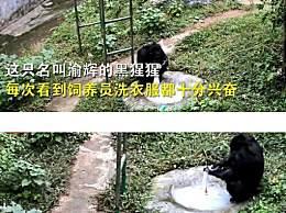 重庆一黑猩猩爱洗衣服被评为劳模