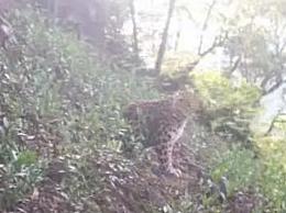 小区豹子为动物园出逃动物