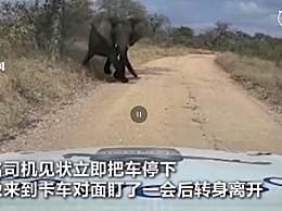 南非大象突然冲向卡车