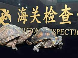 海关截获2只活体箱龟之王