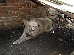 猪坚强去世