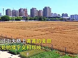 北京三环内世界最贵农田麦浪滚滚