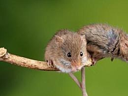 中国科学家成功让公鼠怀孕